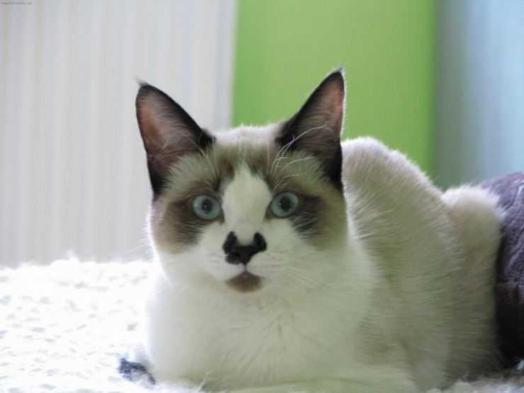 Порода кошек сноу-шу — «снежная туфелька»