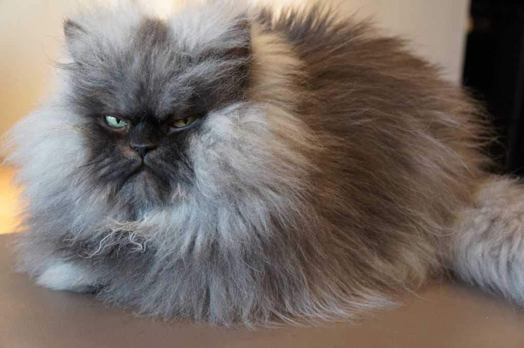 Топ-10 пушистых пород кошек – список, рейтинг