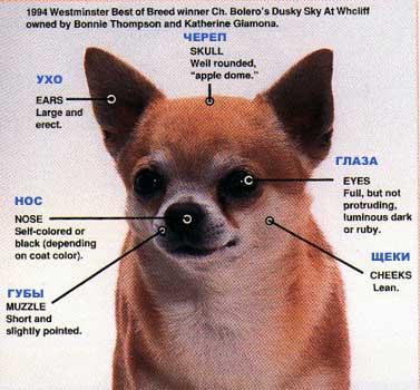 Собака у которой выпадают глаза   у какой породы вываливаются глаза