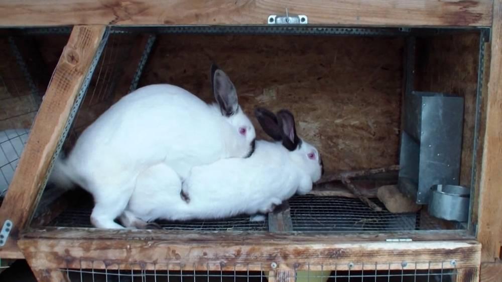 Почему кролики не спариваются: причины и что делать