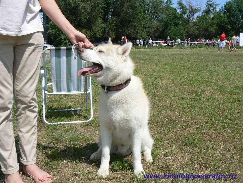 Рекомендации по воспитанию и дрессировке щенков и взрослых собак лаек