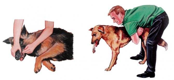 Собака задыхается и хрюкает, хрипит, кашляет: причины, первая помощь, лечение