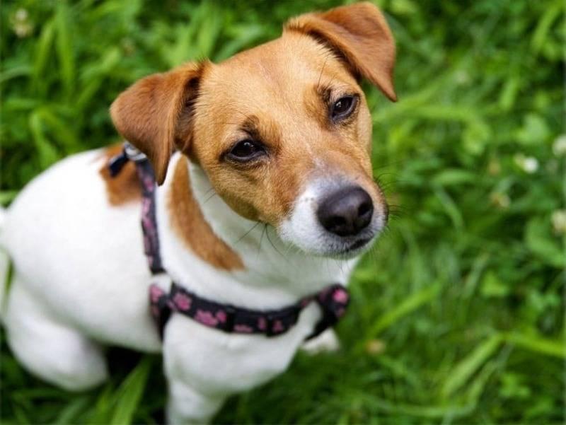 Неприхотливые друзья — какие породы собак подходят для содержания в квартире