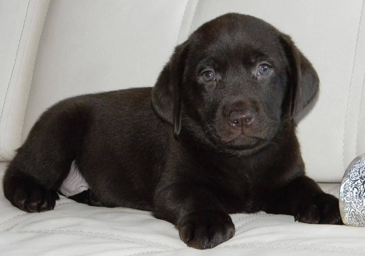 Палевый лабрадор-ретривер: как выглядит щенок и взрослый питомец на фото и какую кличку выбрать для мальчиков такого окраса