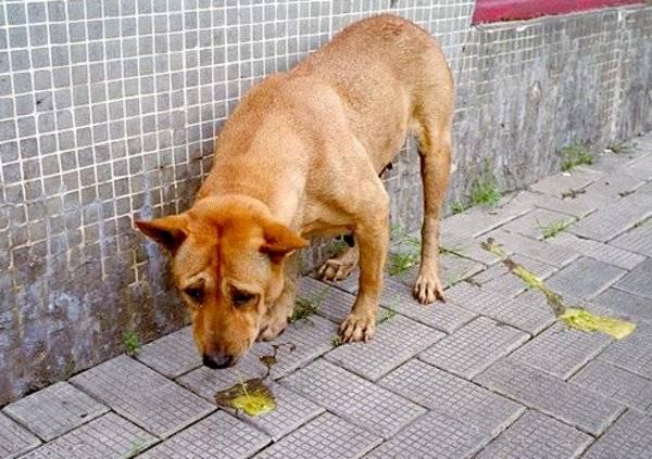 Собаку рвет желтой пеной (жидкостью, слизью): почему и что делать