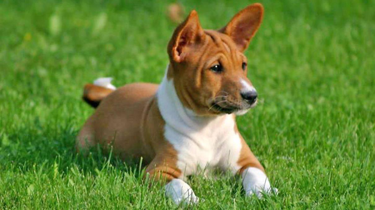 Породы собак, которые не лают. нелающая порода собак. - petstime.ru