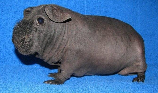 Морская свинка куи: особенности ухода и содержания в домашних условиях