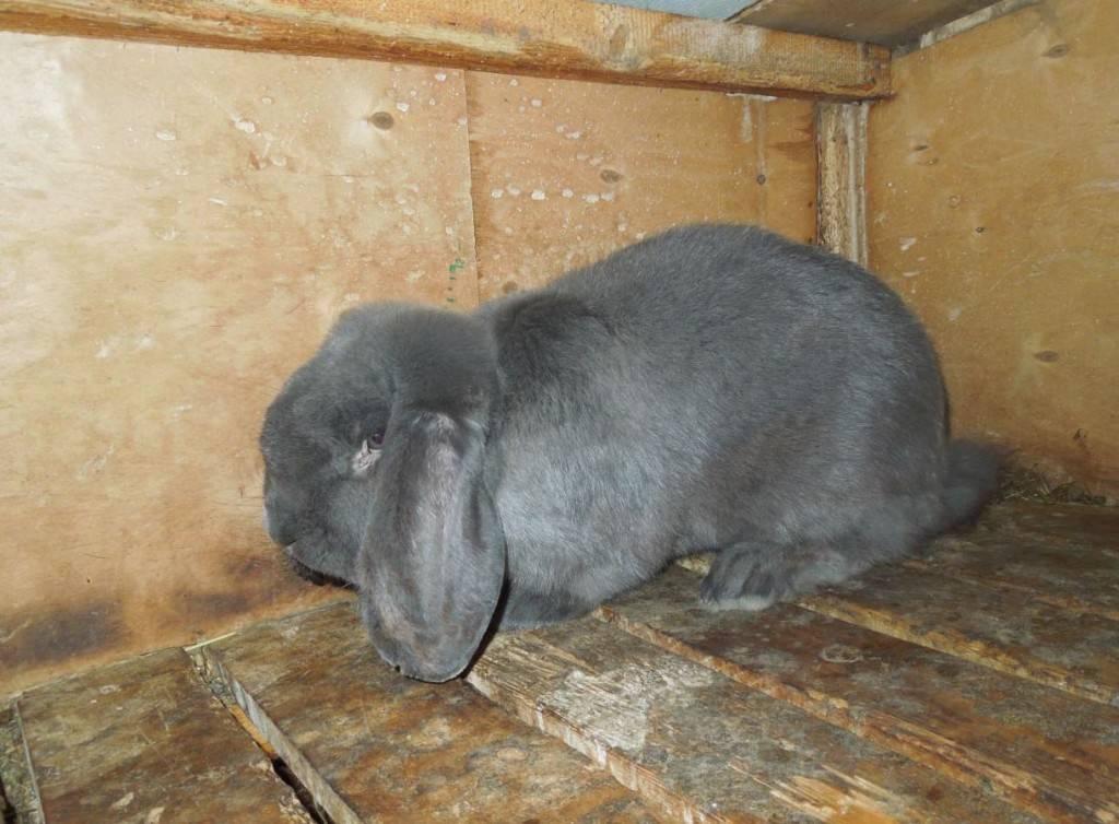 Порода кроликов карликовый баран вислоухий – уход и содержание, чем кормить, сколько стоит