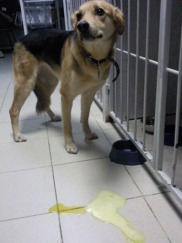 Собаку рвет желтой пеной: причины, симптомы, опасность, лечение и диагностика