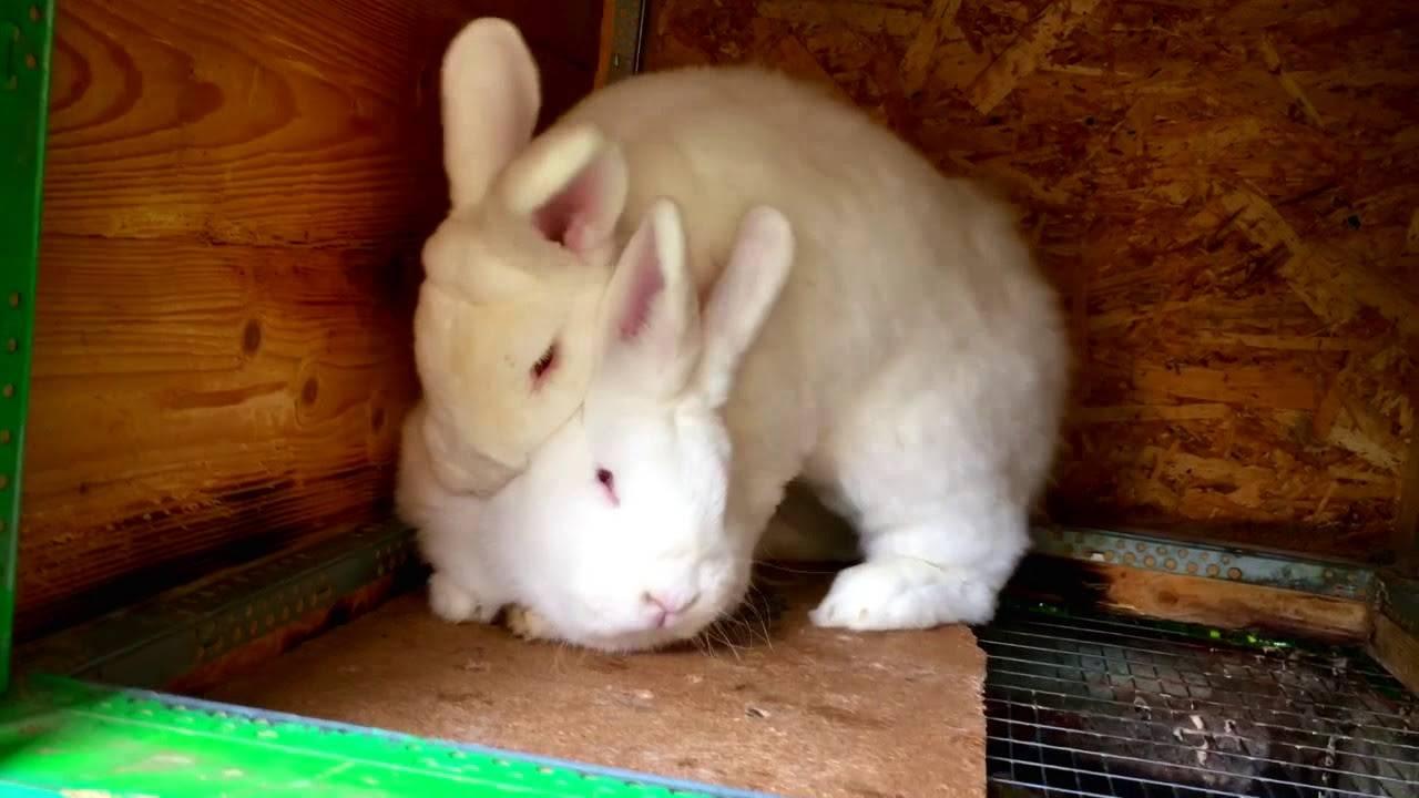 ᐉ крольчиха не подпускает крола - причины и решения - zooon.ru