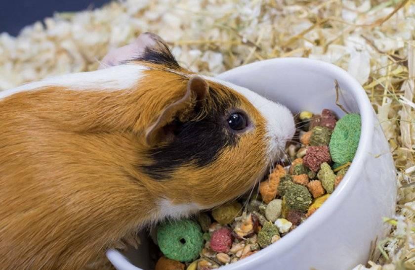 Морская свинка: правила ухода и содержания вашего питомца