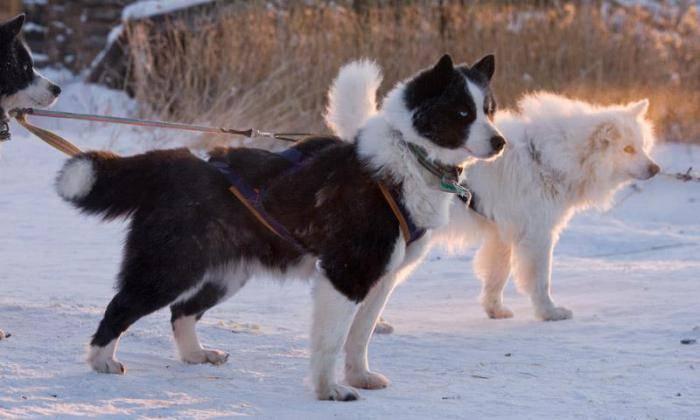 Описание породы якутская лайка: фото, характеристика, уход, разведение
