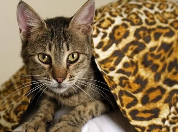 Кошка бенгальской породы (мини леопард)