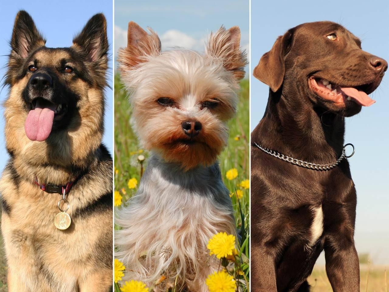Самые преданные породы собак и умные: топ-10