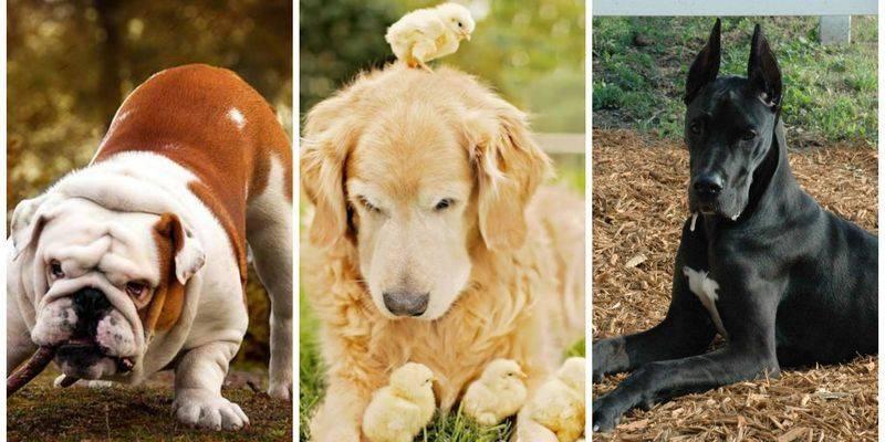 Как и какую выбрать собаку для сторожевой службы?