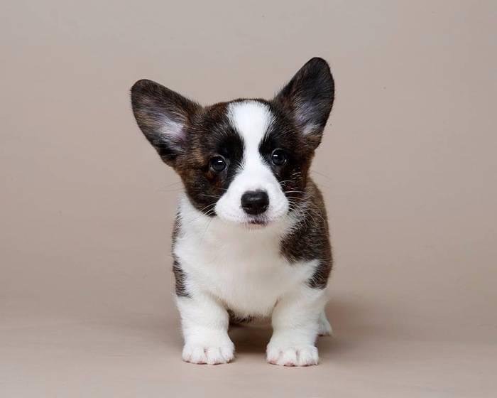 Вельш корги кардиган собака. описание, особенности, уход и цена породы | животный мир