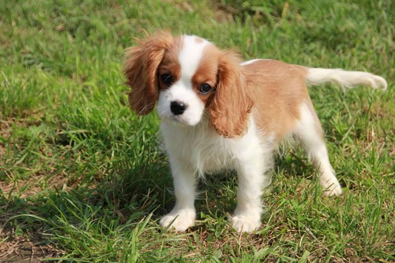 Кавалер-кинг-чарльз-спаниель (92 фото): описание породы, особенности характера взрослых собак и щенков. отзывы владельцев