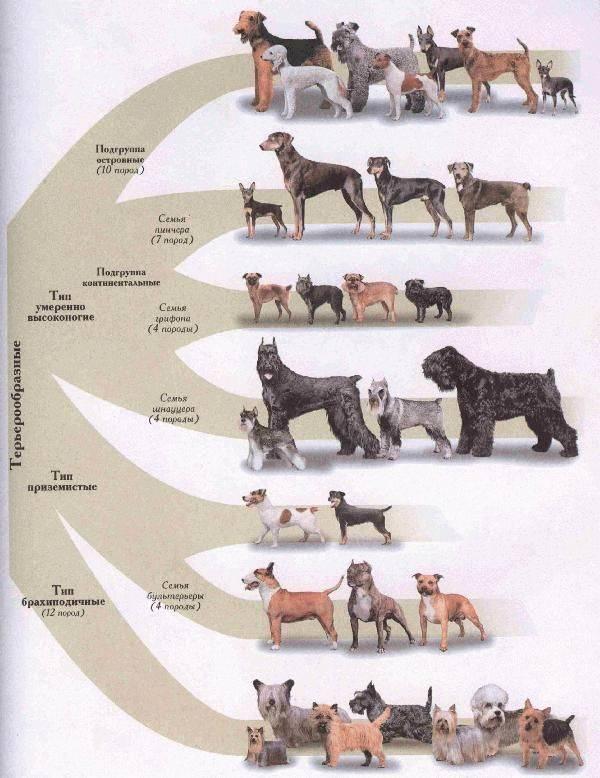 Самая маленькая собака в мире   порода, фото