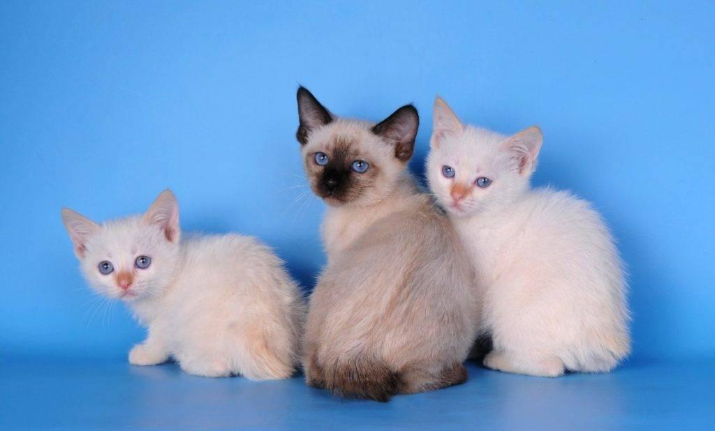 Меконгский бобтейл — описание породы и характер кошки
