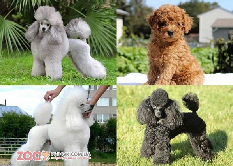 Карликовый пудель собака. описание, особенности, характер, уход и цена породы | живность.ру