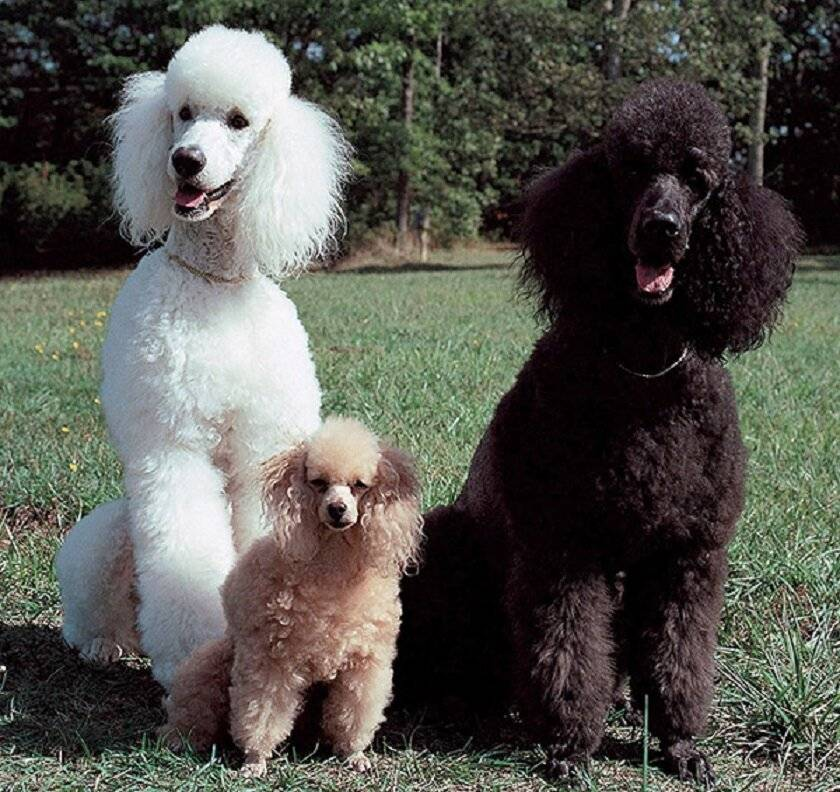 Размеры карликового пуделя по месяцам: сколько должна весить взрослая собака этой породы и до какого возраста они растут?