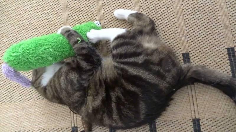 У кошки задние лапы плохо ходят | заплетаются, причины, лечение, что делать