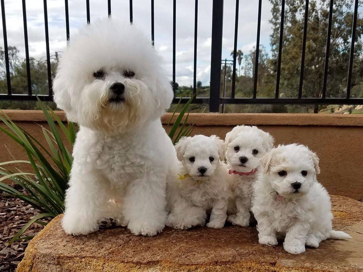 Бишон фризе - описание породы и характер собаки!