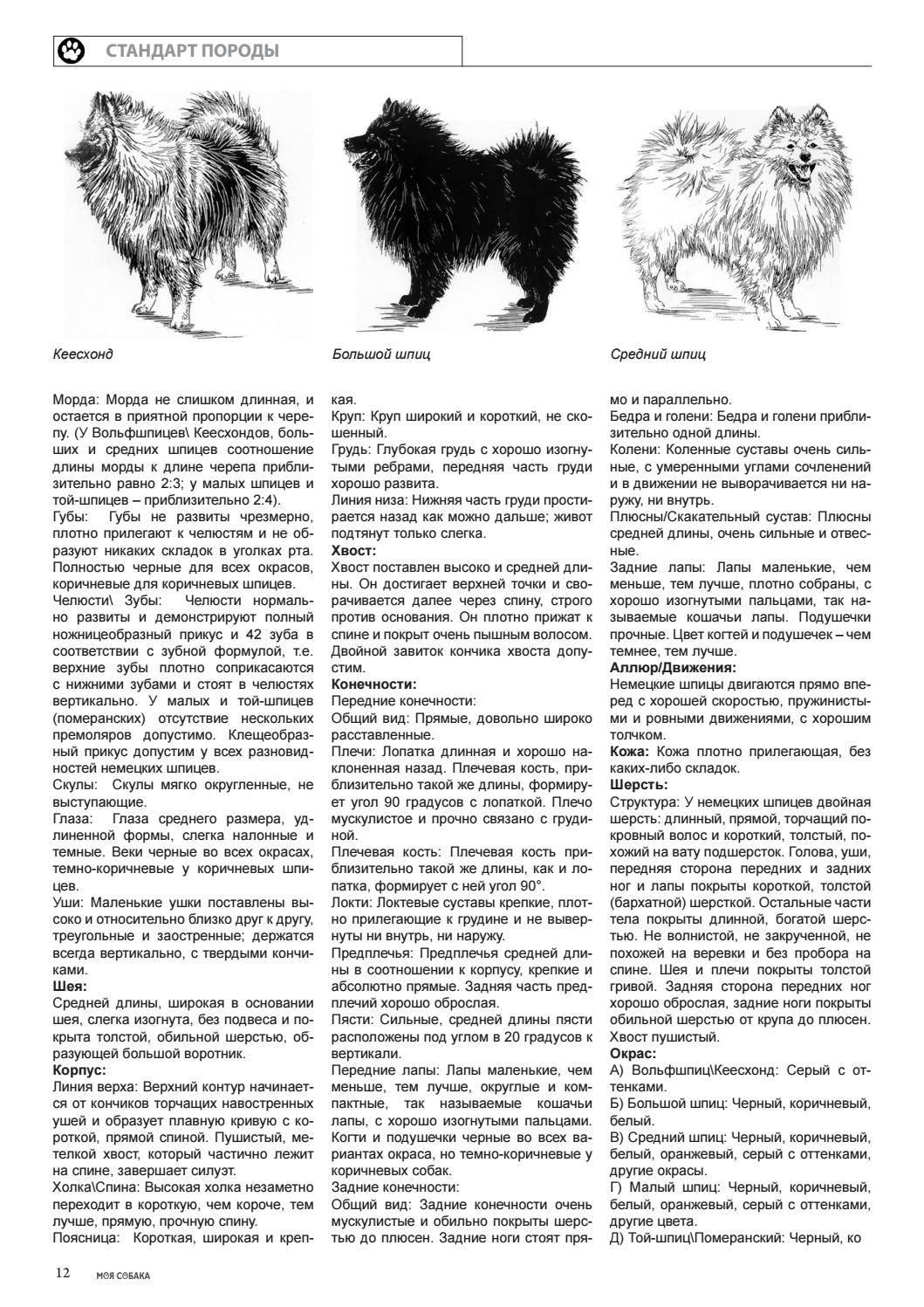 Померанский шпиц: описание характера и внешности, история, особенности содержания и воспитания