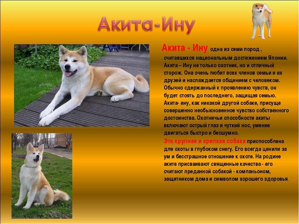 Акита-ину: фото, описание, характер, содержание, отзывы