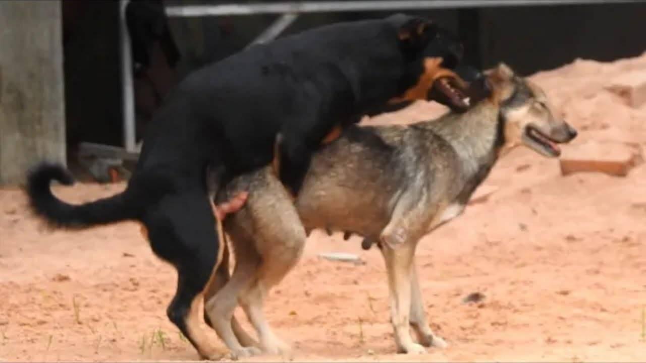 Почему собаки слипаются при спаривании: все тонкости и особенности процесса