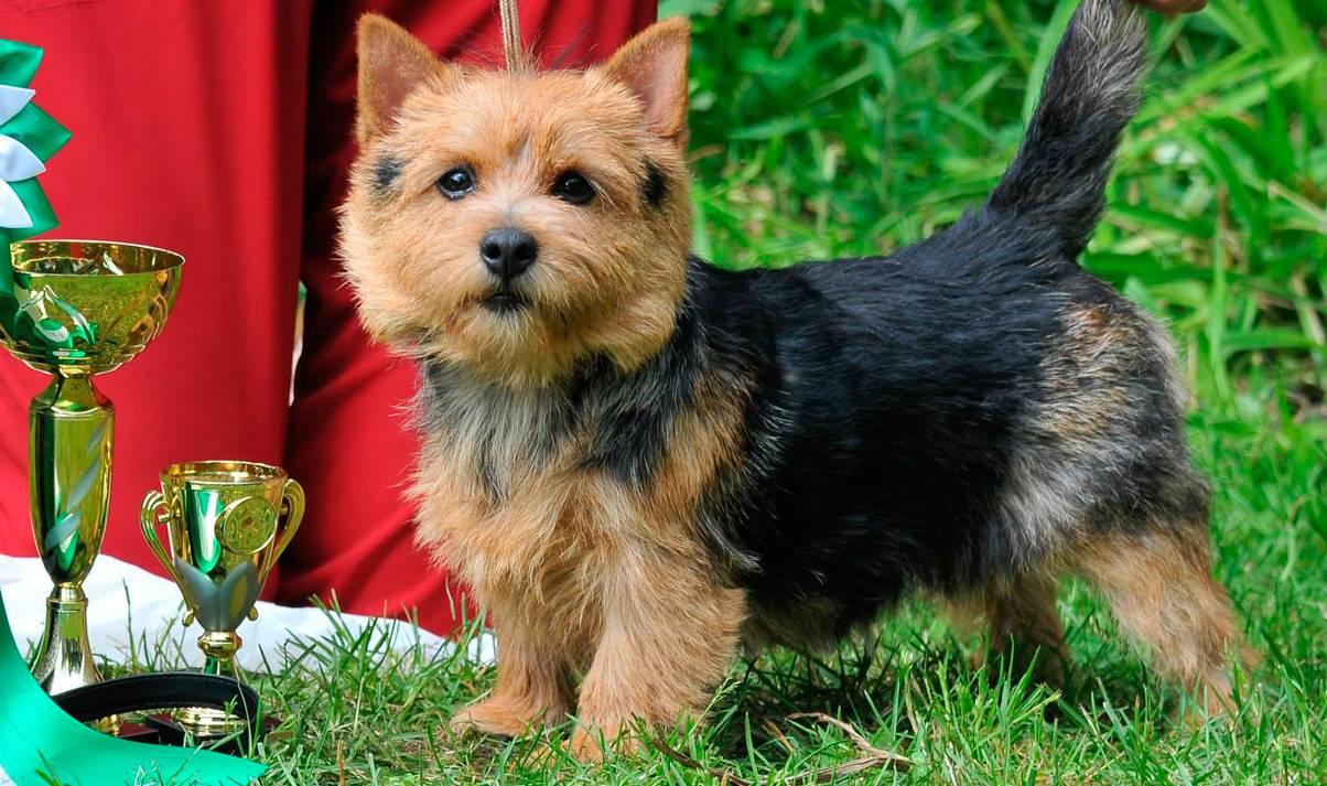 Норвич терьер: описание породы собак и характер, стоимость щенков