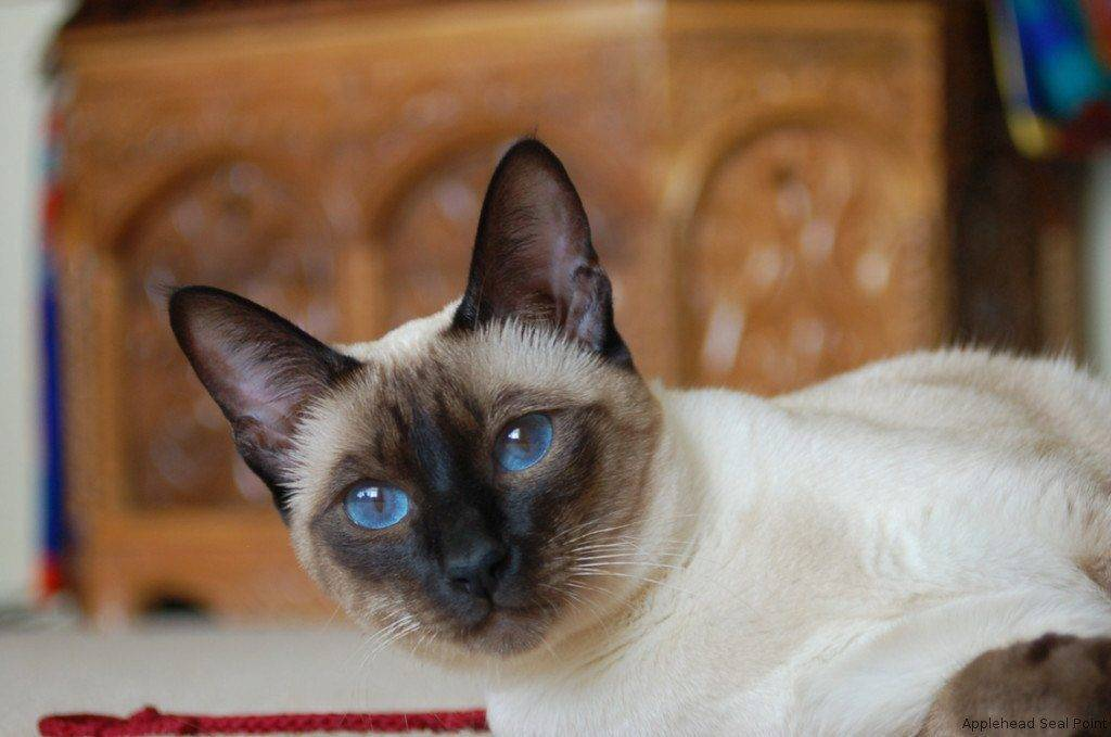 Сиамская кошка: характер и особенности ухода