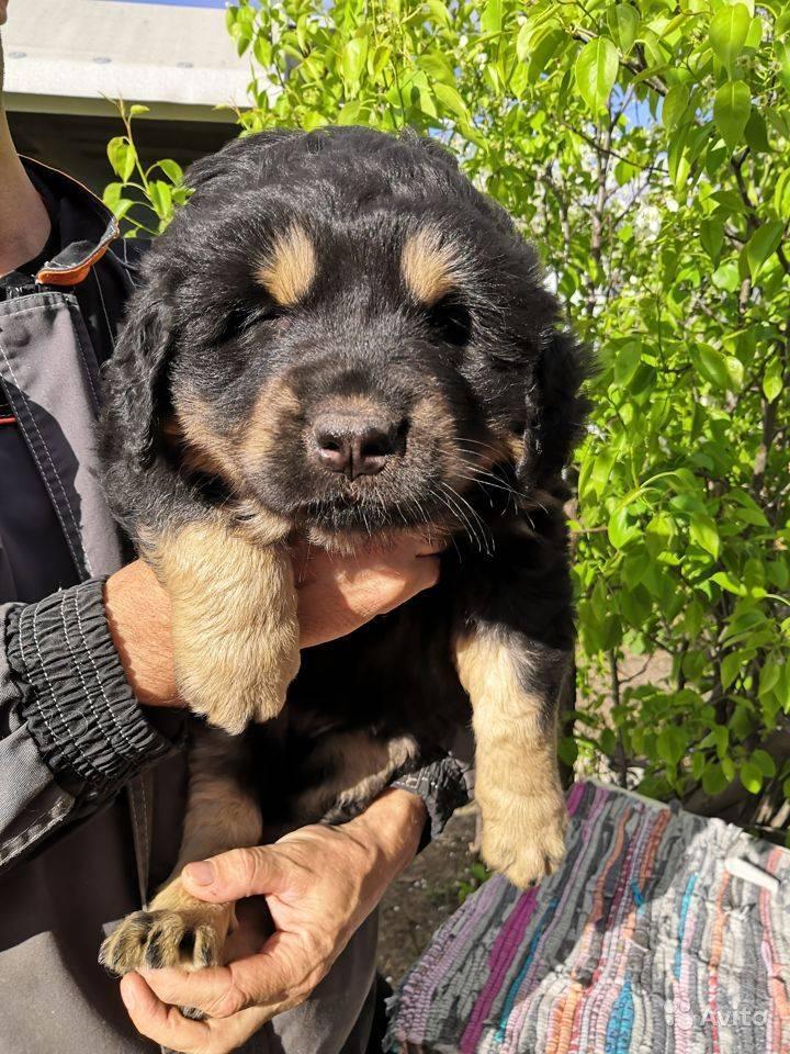 Описание и фото бурят-монгольского волкодава, особенности содержания собаки породы «хотошо», характерные болезни