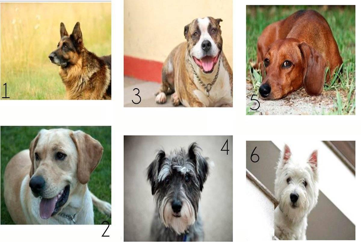 Топ 10 лучших пород собак для квартиры
