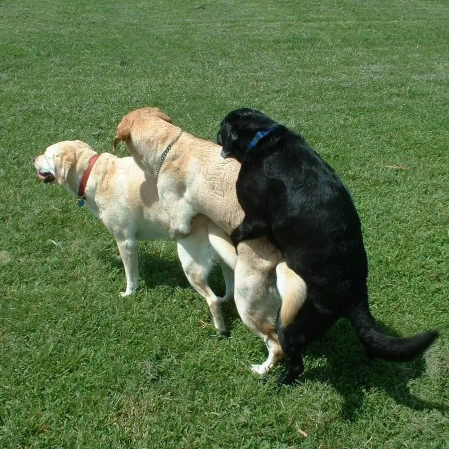 Если собаки слиплись забеременеет ли она. почему собаки слипаются во время спариваниия