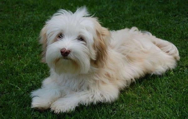 Болонка - собака для души :: syl.ru