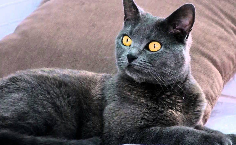 Картезианская кошка (картезианский кот, шартрез): описание породы с фото