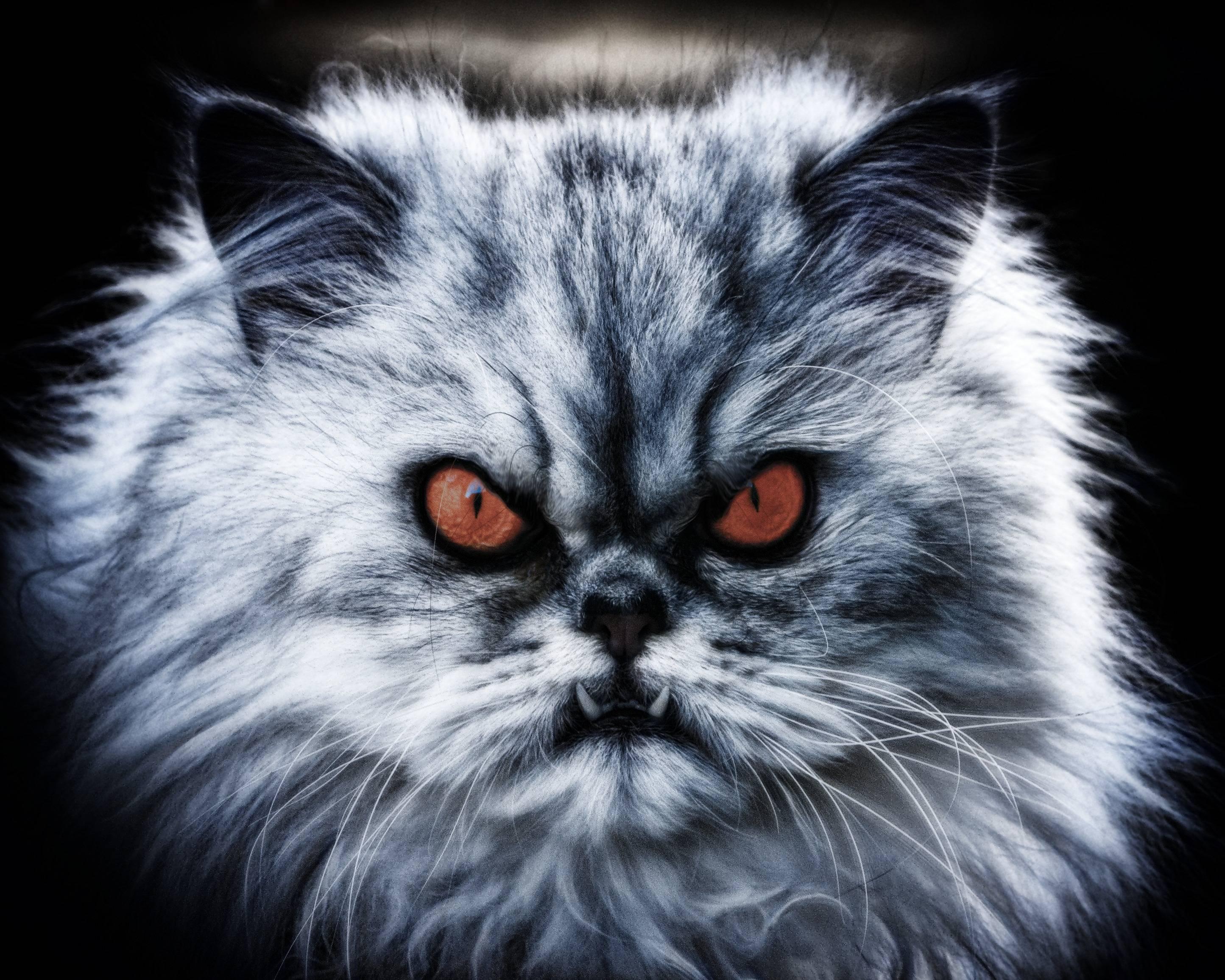 Уход и содержание длинношерстных пород котов