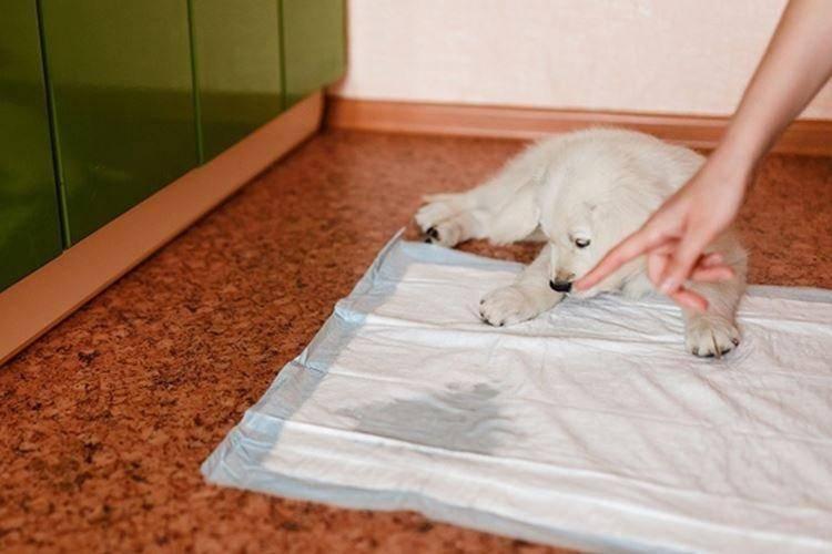 Как приучить собаку ходить в туалет на пеленку: взрослые особи