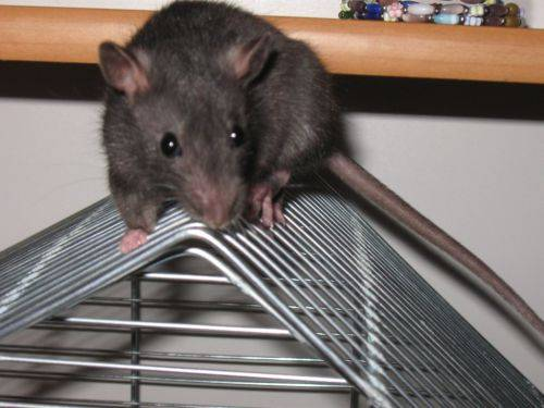 Приучаем крысу ходить в лоток в одном месте: самый простой метод