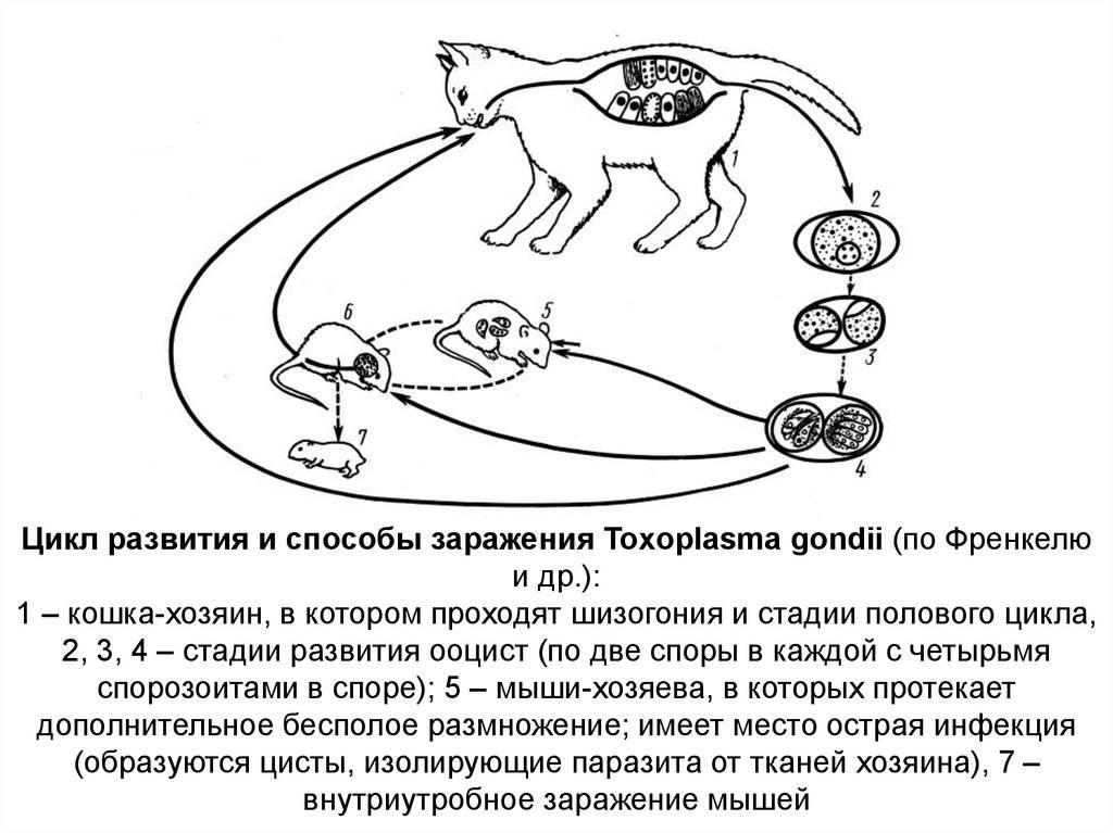 Токсоплазмоз у кошек: чем опасен, симптомы, лечение, профилактика