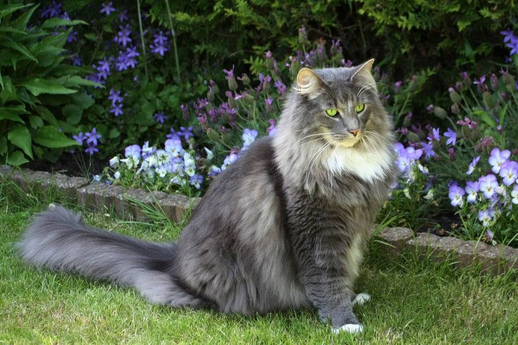 Норвежская лесная кошка: характер, уход, покупка норвежского лесного котенка