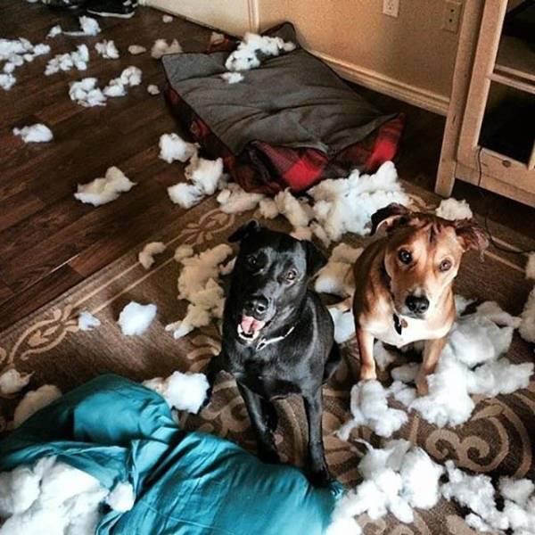 Что делают собаки, когда хозяев нет дома: топ-10 странных занятий