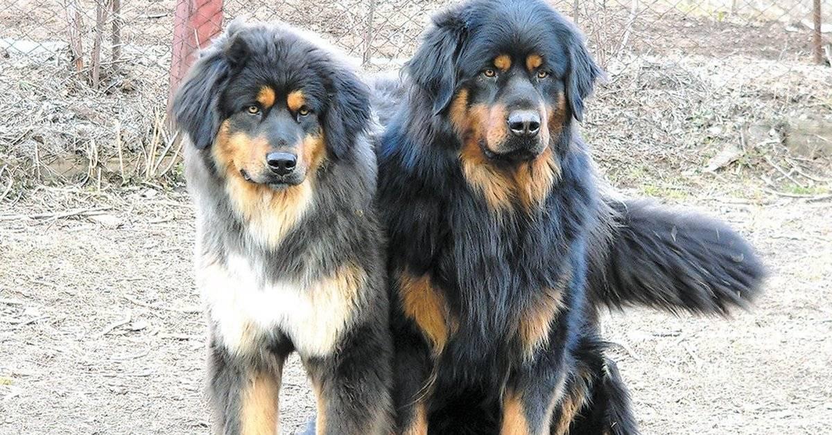 Хотошо собака. описание, особенности, уход и цена породы хотошо   животный мир