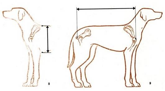 Учимся правильно измерять рост собаки в холке