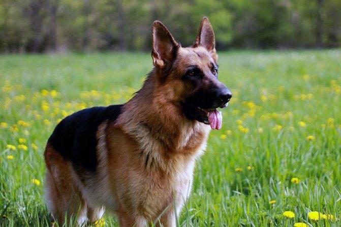 Течка у немецкой овчарки – поведение, длительность, случка