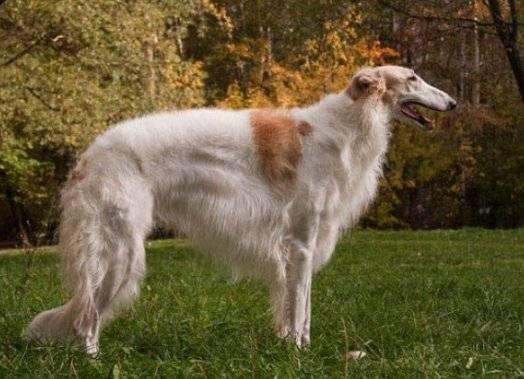 Борзая русская собака. описание, особенности, уход и цена русской борзой   животный мир