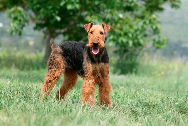 Порода собак эрдельтерьер и эрдельтерьер мини — король терьеров