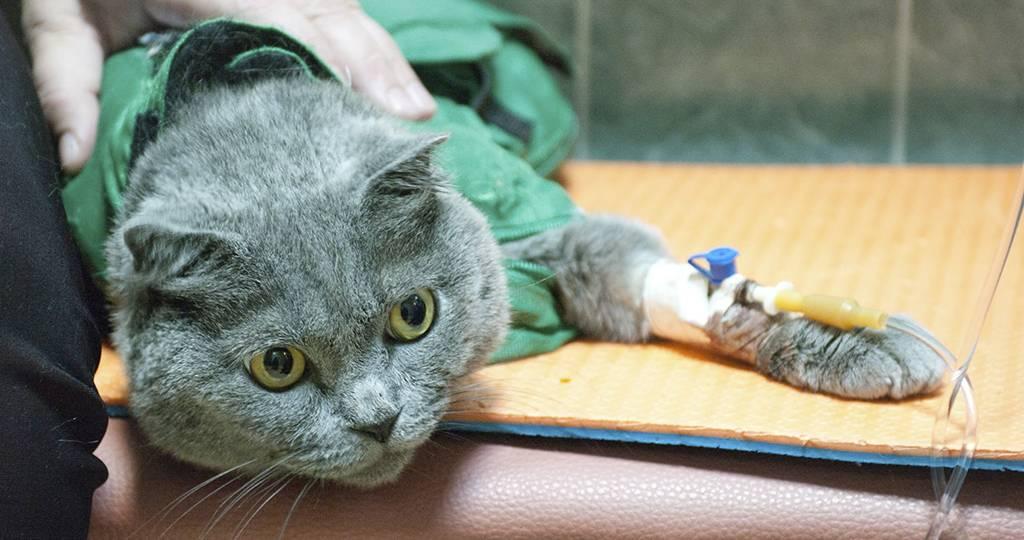 Вирусная инфекция у кошек: симптомы, лечение, диагностика, профилактика и прогноз