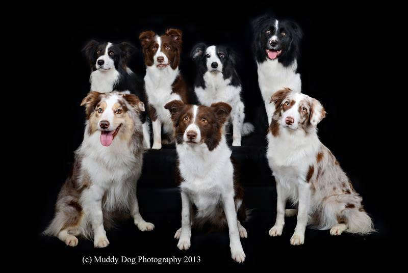 Бордер-колли – характеристика породы: внешний вид, характер собаки, правила содержания, ухода и дрессировки